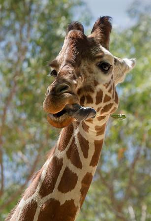 Gorgeous. Giraffes.