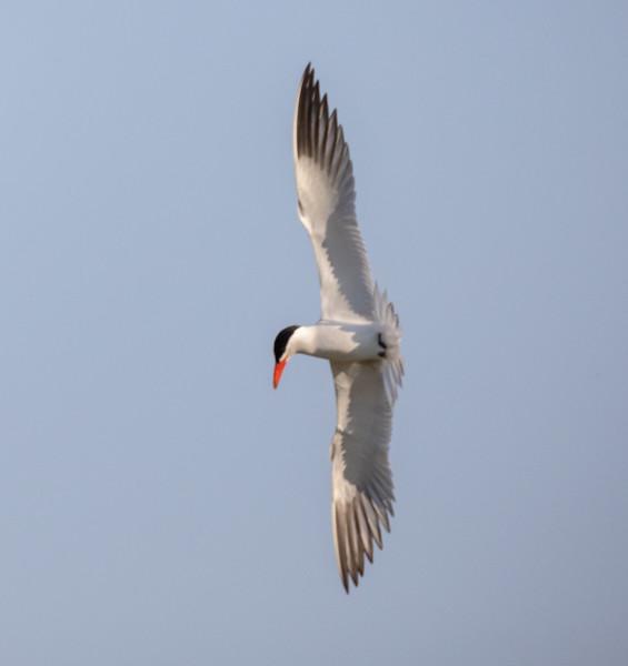 Caspian Tern Warm Lake near Crowley Lake 2021 06 20-1.jpg