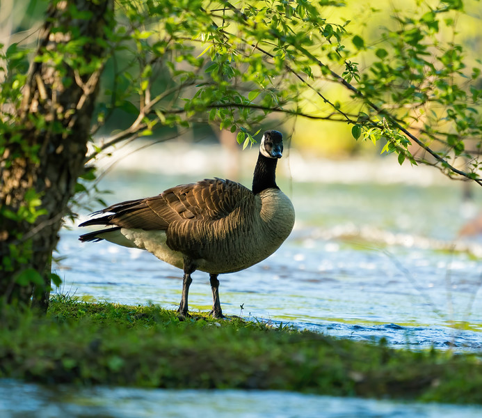 Goose in Raleigh