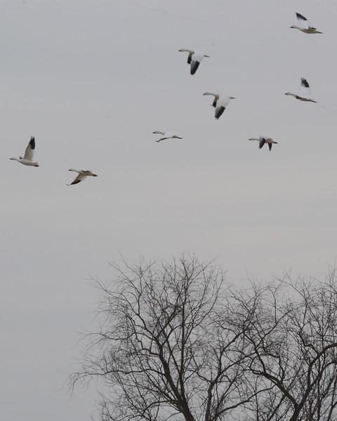 Snow Geese 5 03_13_19.JPG