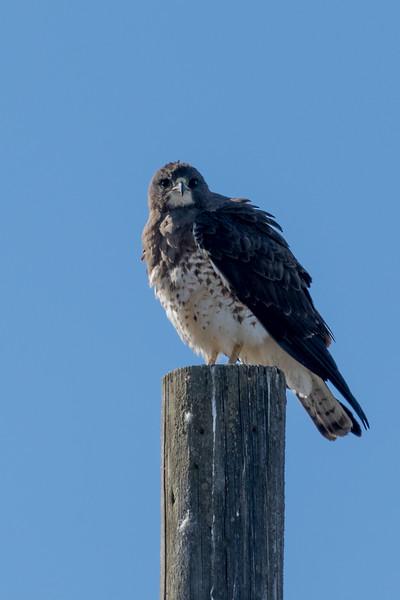 Swainson Hawk & Burrowing Owl