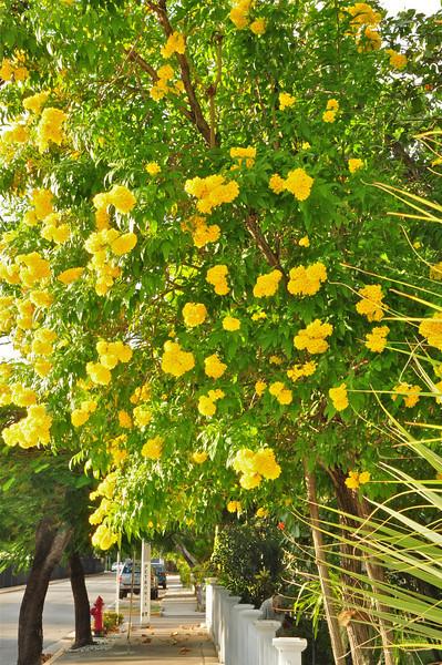 Yellow Elder