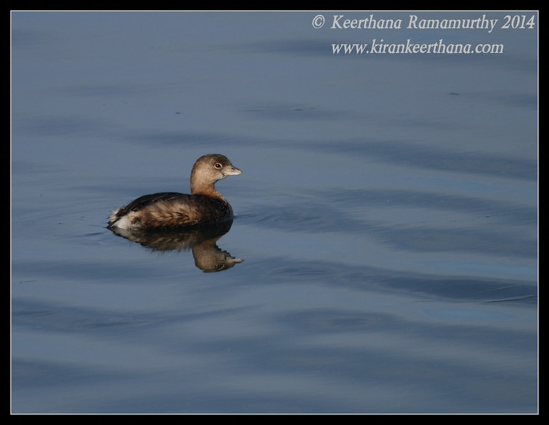 Pied-billed Grebe, Robb Field, San Diego River, San Diego County, California, February 2014