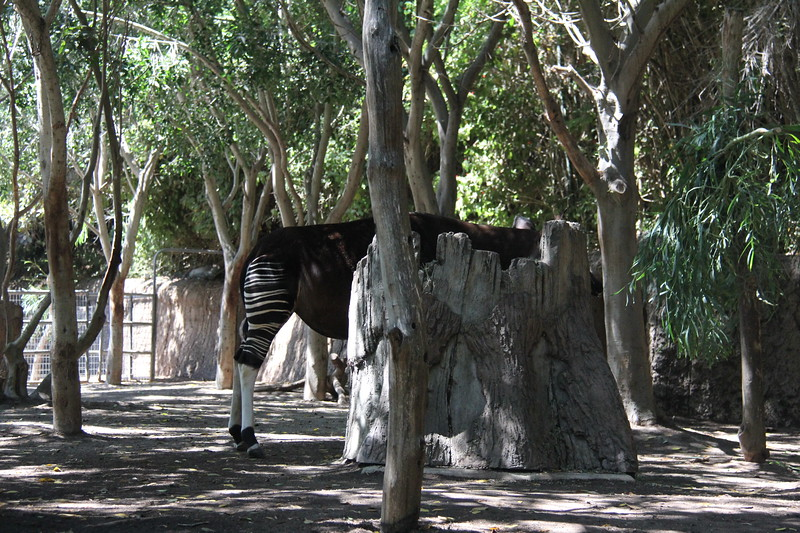20170807-162 - San Diego Zoo - Okapi.JPG