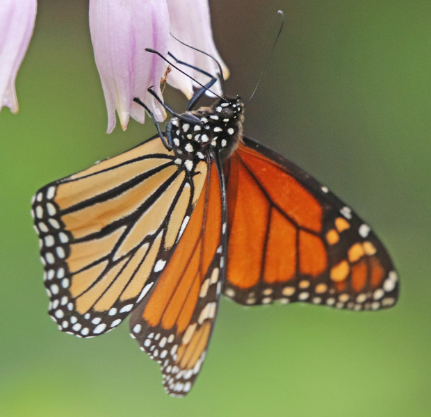 Monarch butterfly 642