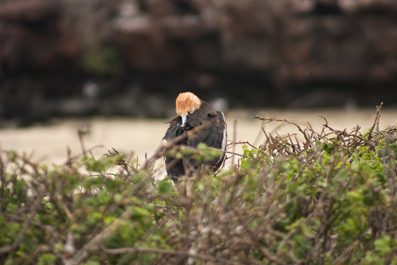 Sleeping Adolescent  : Journey into Genovesa Island in the Galapagos Archipelago