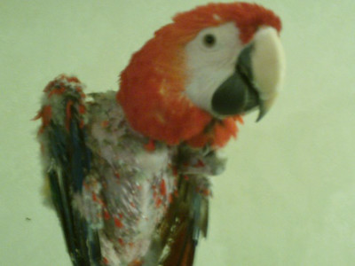 Other Self Mutilated Parrots from the Web *WARNING!! [ GRAPHIC CONTENT]  !!