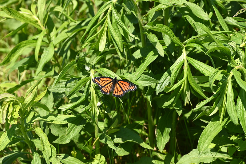 Viceroy (Limenitis archippus) butterfly along roadside near Wesleyville (site entrance , in Area 1 (Photo by Gerry McKenna)