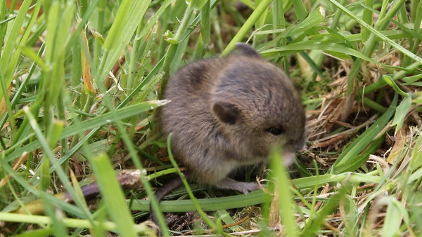Rodentia (Rodents / Gnagere)
