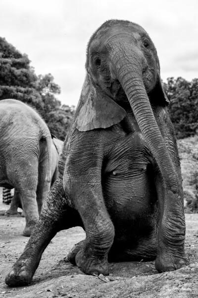 Aug3120x13_nairobdi_blixen_elephant_2349.jpg