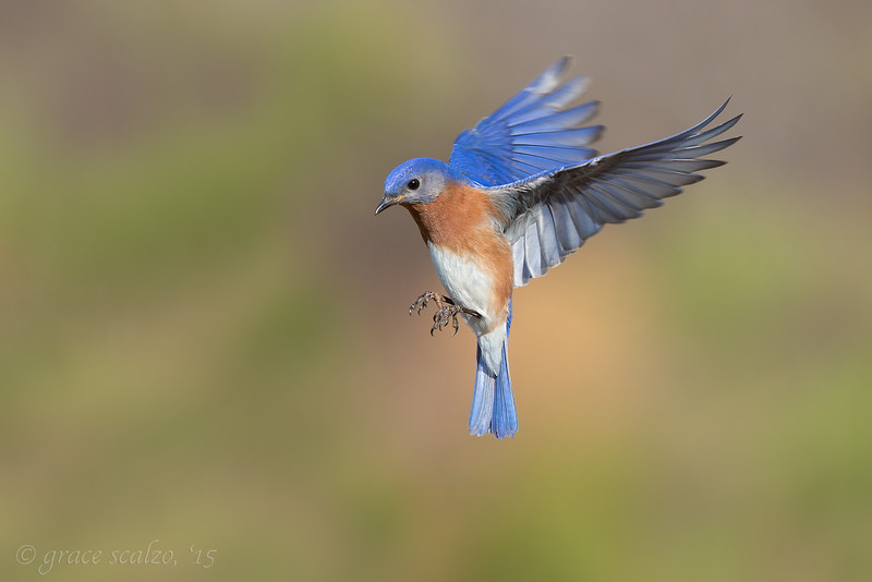 Eastern Bluebird_O8U6486-Edit.jpg