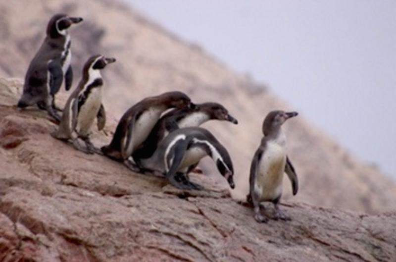 penguins peru.png