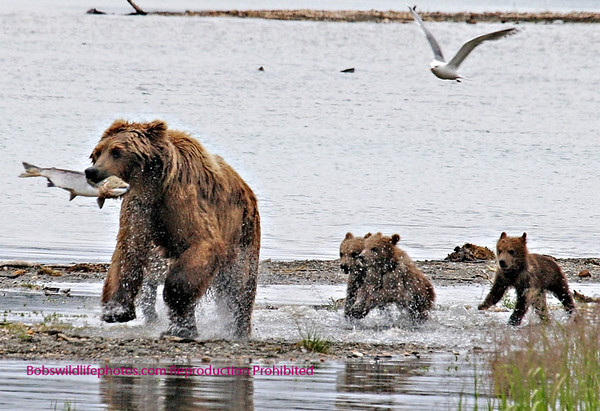 Mother Bear with 4 cubs Katmai National Park
