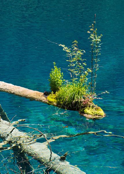 Shrub growing on the tip of a floating log,  Jiuzhaigou National Park, Sichuan Province
