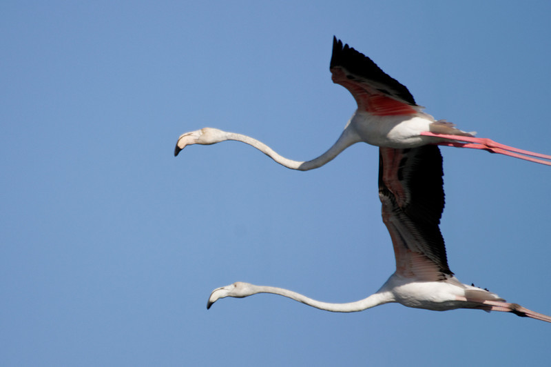 Flamingos Ria de Aveiro