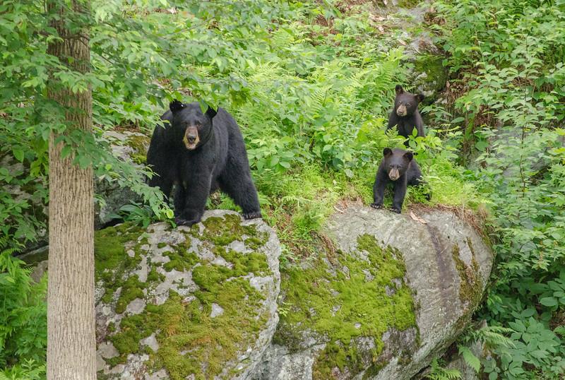 Black Bear in Yard-82-36.jpg