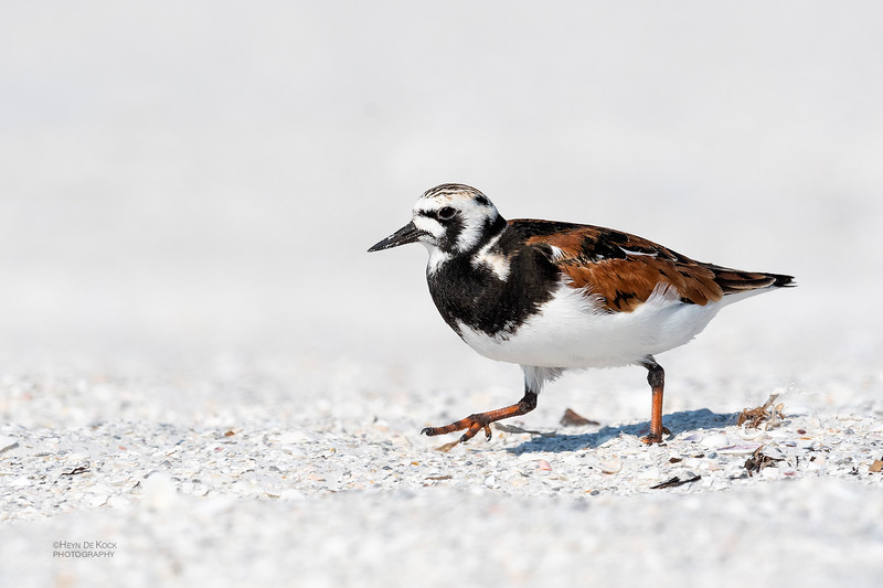 Ruddy Turnstone, Fort De Soto, St Petersburg, FL, USA, May 2018-5.jpg