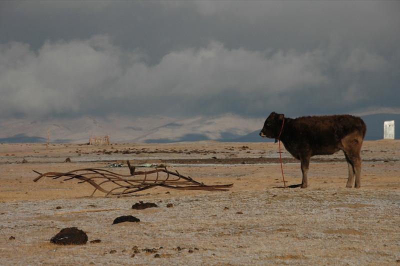 Cow at Song Kul Lake, Kyrgyzstan