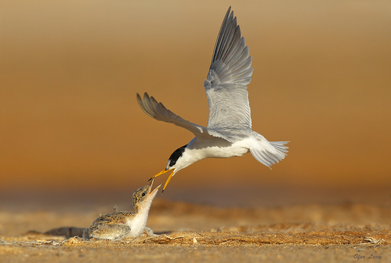 Little Tern attack MASTER.jpg