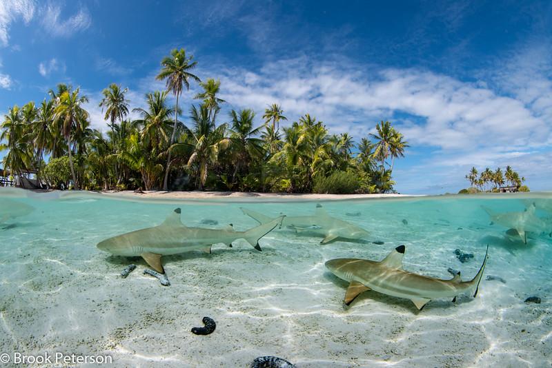 Shark Split
