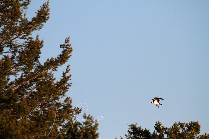 Another osprey with a fish arrives.