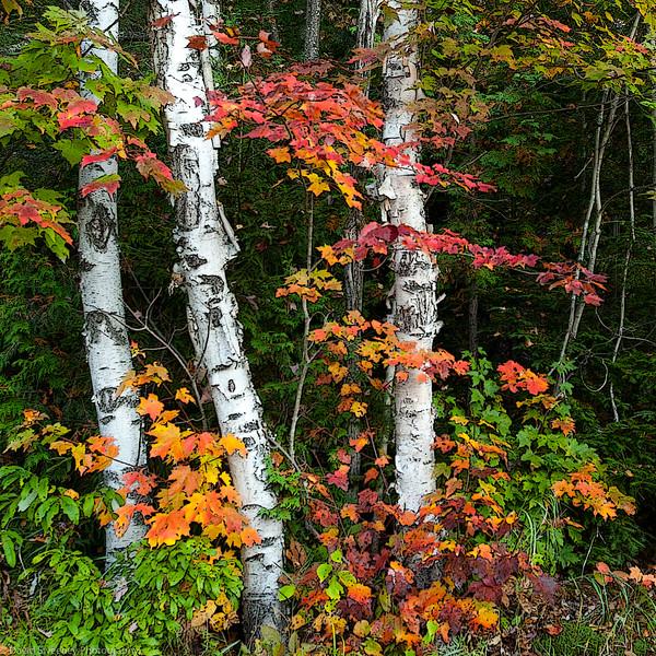 Changing Birches.jpg