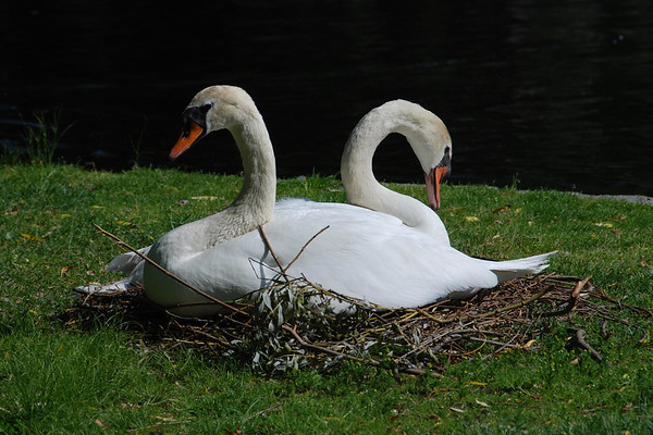 Boston Common Nesting Swans