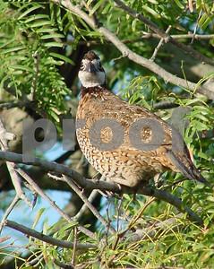 quail-appreciation-day-oct-5-in-san-antonio