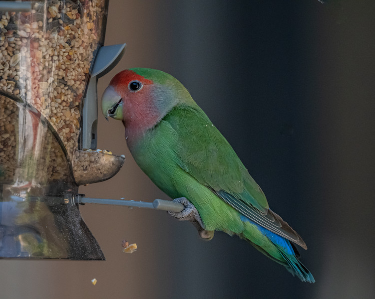 Rosey-faced Lovebird