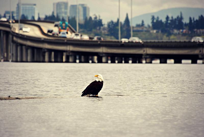Bald Eagle Seattle, WA