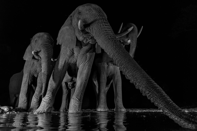 African Elephant, b&w, Zimanga, South Africa, May 2017-1.jpg