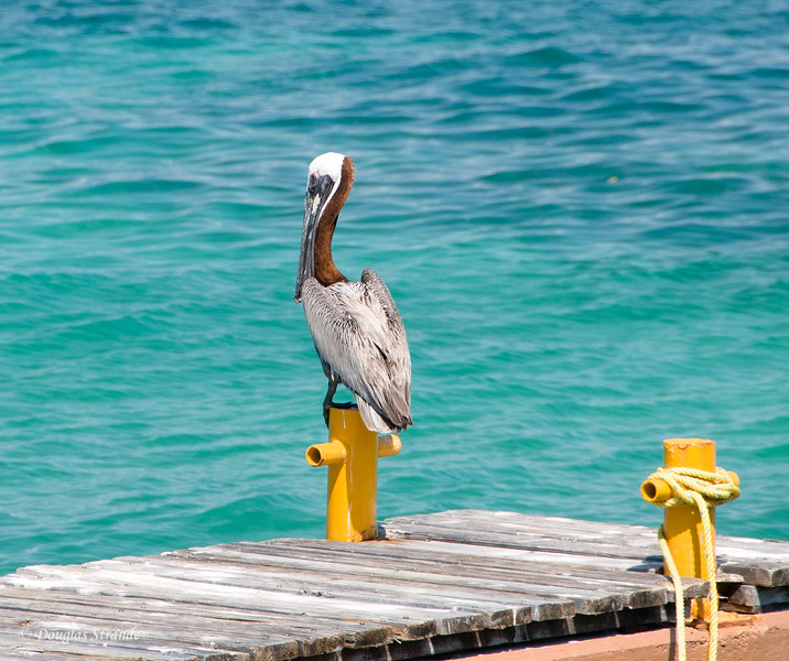 Another day on a post for this pelican