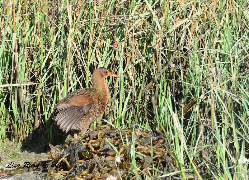 Light-footed Clapper Rail - 3/2/14 - Birding 100 San Diego Bird Festival