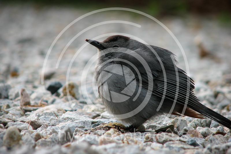 Juvenile catbird.