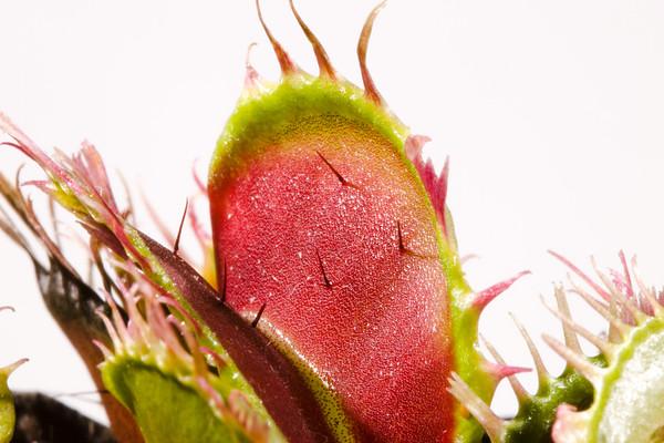 Dionaea muscipula - Venus Flytrap - a carnivorous plant