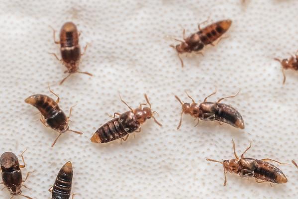 Rove beetles (Staphylinidae)
