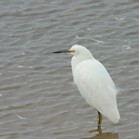 Snowy Egret (Egretta thula, Aigrette neigeuse, Schmuckreiher) resting in the estuary of Scott's Creek, California.
