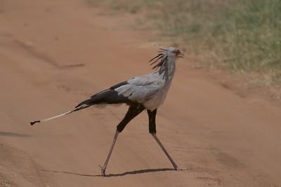 Secretarybird (monotypic)
