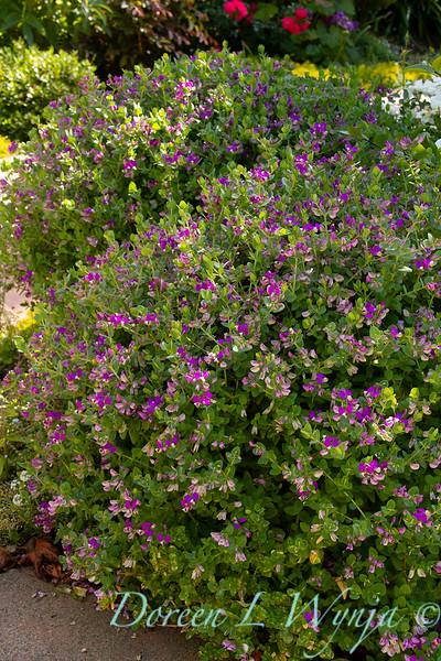 Polygala fruticosa 'Petite Butterflies'_2254.jpg