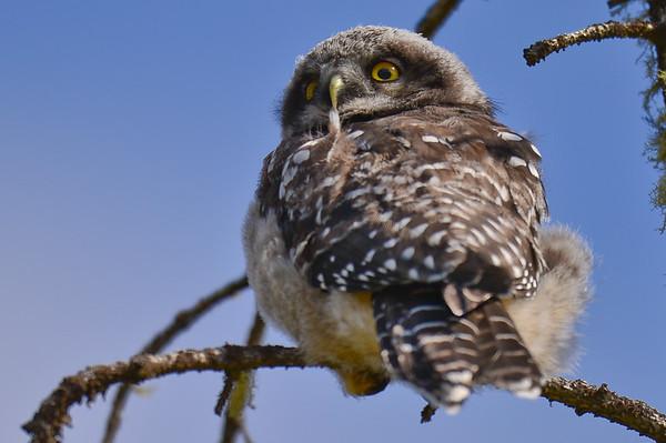 5 2012 May 28 -  2-  Hawk Owl Families