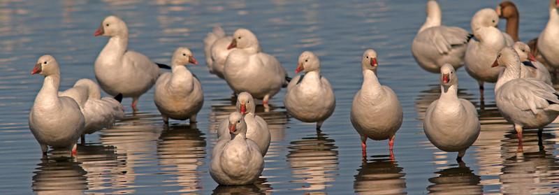 Snow Geese Posing, Sacramento WLR
