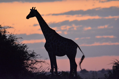 Botswana: Chobe National Park: Day 2 (B): Afternoon Land Safari 2019