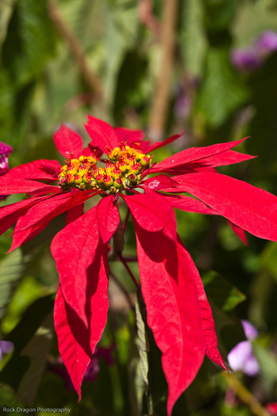 A Poinsettia in the Sacred Valley, Peru.