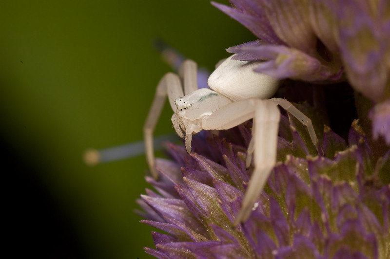 Crab Spiders are ambush hunters they wait for the prey to land in front of them.