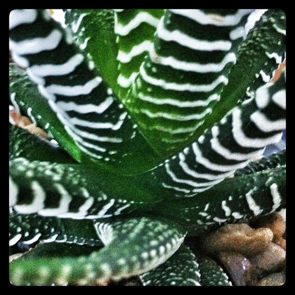 Cactus Kraken