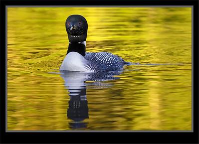 Anhinga, Cormorants, Flamingo, Grebes, Loons, Pelicans