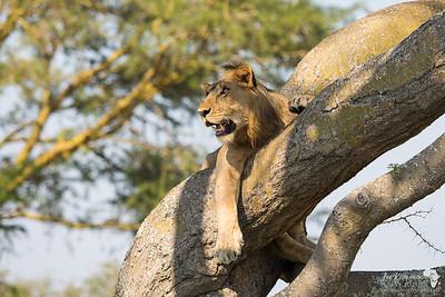 Chilling Lion