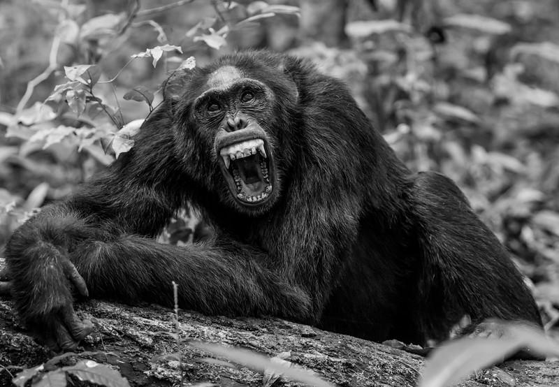 Uganda_T_Chimps-351.jpg