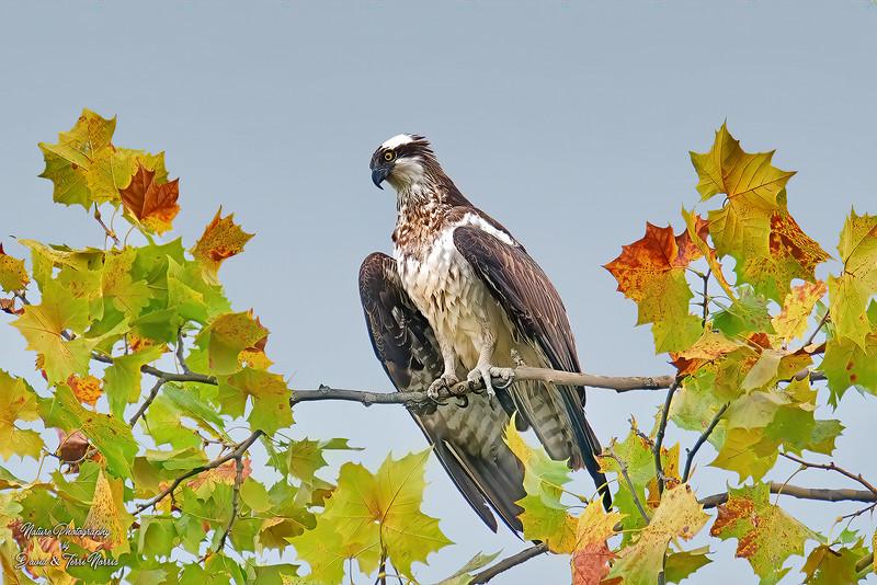 Osprey, Old Reid Park