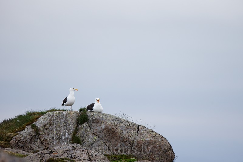 Great Black-backed gulls on a rock